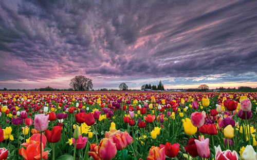 Wooden Shoe Tulip Farm Festival Oregon