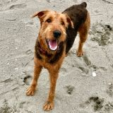 Atlas the Airedale